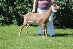Goddard Farm Karma Karma is bred for Jan 2015 kids. Check out my website for more information regarding Karma and other goats. karmicacres.wordpress.com