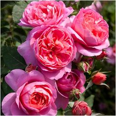 Floribunda - Exclusive to Matthews - Rich shades of pink cupped vintage shaped flowers wi Pink Cups, Rose Gift, Beautiful Roses, Indoor Garden, Pink Roses, Special Occasion, Fragrance, Bloom, Nursery