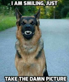 Wicked Training Your German Shepherd Dog Ideas. Mind Blowing Training Your German Shepherd Dog Ideas. Funny Dog Memes, Funny Animal Memes, Cute Funny Animals, Funny Animal Pictures, Funny Dogs, Cute Dogs, Funny Images, Animal Pics, Funny Kitties