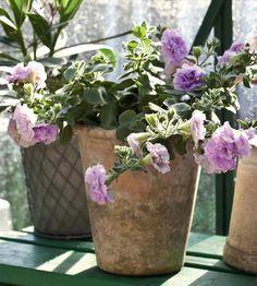 Näin saat kasvihuoneen kukoistamaan:: Kerrottu petunia on kasvatettu siemenistä. Taustalla oleanteri (Nerium oleander).