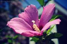 A hibiscus flower found in Cape May, NJ