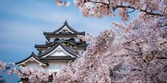 Cherry blossom season is fleeting in Japan but well worth the trip to see the beautiful trees in their natural habitat.
