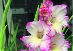 Gladiolus flower facts and meaning august birth flower gladiolus august birth flower poppy mightylinksfo