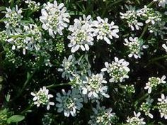 Candytuft, Iberis sempervirens: Zone: 3 to 8, Height: 0.50 to 1.00 feet, Spread: 0.50 to 1.50 feet, Bloom Time: April to May, Bloom Description: White, Sun: Full sun, Water: Medium, Maintenance: Medium, Suggested Use: Ground Cover, Flower: Showy, Attracts: Butterflies