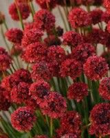 "Armeria pseudarmeria 'Ballerina Red' Sea Thrift - Ballerina Red, full sun to part shade, 12""-14"" H, 12""-16"" W, Mid to late summer"