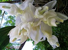 Orquideas do Brasil