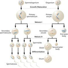 Spermatogenesis and Oogonim