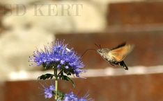 Spiegel Ákos Fotó Dandelion, Bird, Flowers, Plants, Gardening, Animals, Animales, Animaux, Dandelions