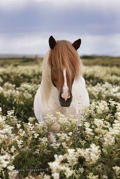 Álfur frá Selfossi (Herd 2) by Gigja Einarsdottir, via Flick // chestnut tobiano Icelandic in flowers