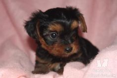 Yorkshire Terrier puppies for sale - Yorkshire Terrier Breed Dog Puppy for Sale view here at http://www.petsplusonline.com