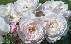 David Austin Roses - Desdemona.