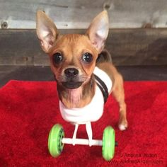 My name is TurboRoo! I was born with just my back legs! I am a #chihuaha and I am going to take on the world! #specialneedsdogs #disableddogs