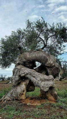 Science Discover I don& know if this olive tree is ancient but it is old and cool. Weird Trees Twisted Tree Unique Trees Old Trees Tree Trunks Nature Tree Tree Forest Olive Tree Tree Art Weird Trees, Twisted Tree, Magical Tree, Unique Trees, Old Trees, Nature Tree, Tree Forest, Belleza Natural, Tree Art
