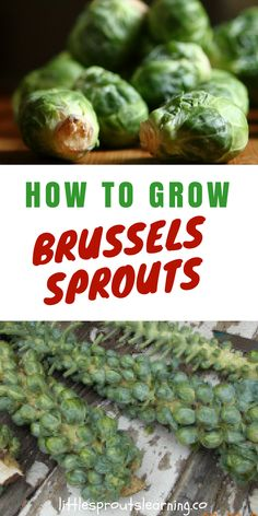 Brussel sprouts are a fun and delicious addition to the vegetable garden. They grow in the cool weather. Brussel sprouts are easiest grown from seedlings rather than direct sowing seeds into the ground. They grow on a main stem in a spiral pattern.