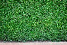 Natural green wall - Stock Photo - Images
