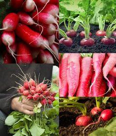 les radis, un légume facile à cultiver Comment Planter, Organic Fruits And Vegetables, Carrots, 2013, Spots On Face, Gardens, Gardening Tips, Potager Garden, Vitamin E