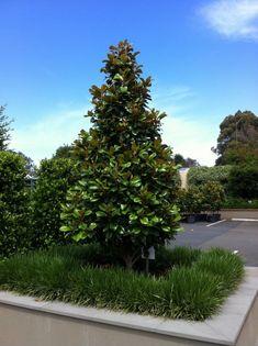 Feature tree option: Magnolia 'Teddy Bear'