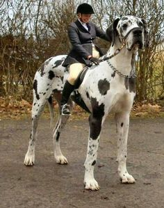 Tallest Dog in the World great Dog The Great Dane dog by the name of George is the tallest/largest dog ever recorded. George started out. Huge Dogs, Giant Dogs, Really Big Dogs, Big Animals, Funny Animals, Largest Mastiff Breeds, Beautiful Dogs, Animals Beautiful, Amazing Dogs