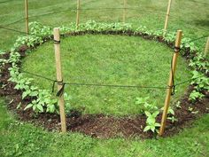 Fun idea: Sunflower House. Fun to play in once the sunflowers grow tall. This would be perfect off of a green bean tunnel!