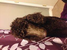 Journey. 5 month old standard poodle