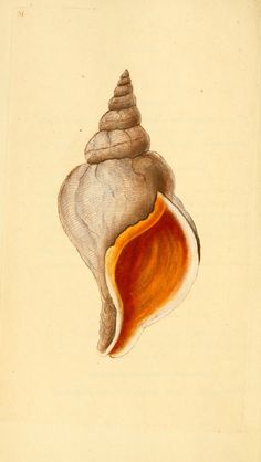 - The natural history of British shells : - Biodiversity Heritage Library Nature Illustration, Seashell Art, Cool Posters, Hand Coloring, Natural History, Painting & Drawing, Sea Shells, Art Drawings, Art Prints