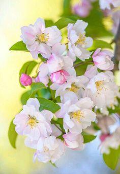 Яблоня цветет!