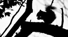 Squirrel Silhouette
