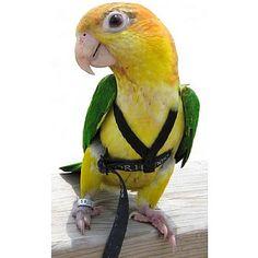 9c855604eb5495571625a3829086598f parakeets parrots 13 best parrot harnesses images parakeets, parrot bird, parrots