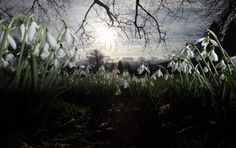 Snowdrops that are already in early bloom are seen at Rococo Gardens in Painswick on January 12, 2012 near Stroud, England.