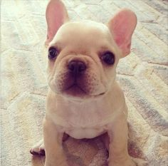 Beige cream coloured french bulldog puppy