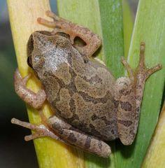 Image result for spring peeper