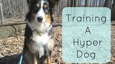 Would you jump at the chance to extend the life of your beloved dog? To discover how, go to http://lovedogs.from.media/go  Training a Hyper Dog : Tips and Tricks for Traning an Australian Shepherd