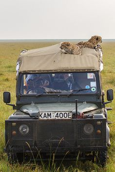 This old Land Rover serves as a perfect viewing perch for a couple of cheetahs.