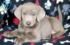 This is a handsome Silver Lab puppy who will make a great family companion. Silver Lab Puppies, Yellow Lab Puppies, Equine Photography, Animal Photography, Labrador Puppies, Retriever Puppies, Corgi Puppies, Silver Labrador Retriever, Silver Labs