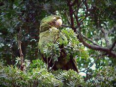 Foto periquitão-maracanã (Psittacara leucophthalmus) por Marcelo De Barros Pimentel