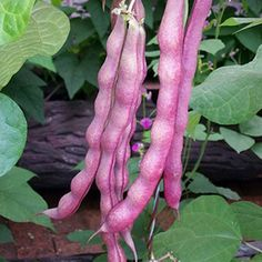Amazon.com : Solution Seeds Farm Heirloom Vegetable Seeds 20 Seeds Purple Pole Rare Bean Edible Strong Growth Potential, Ptrong Cold Resistance : Patio, Lawn & Garden