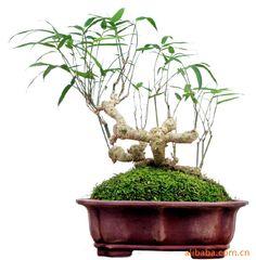 Bambusa textiles var.glabra