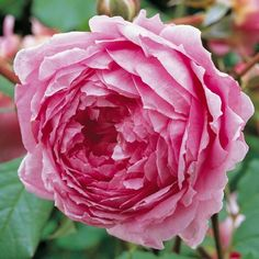 Large, deeply cupped flowers with a delicious Old Rose scent. Buy Alan Titchmarsh from David Austin with a 5 year guarantee and expert aftercare. Rose Nursery, Heirloom Roses, Shrub Roses, Rose Perfume, Old Rose, David Austin Roses, Growing Roses, Planting Roses, Rose Bush
