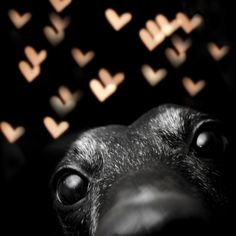 greyhound bokeh!