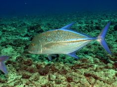 This particualr fish has many names.  Some of the common names you might here are:  Jacks, Trevally, Ulua, Giant Trevally, Butaguchi, Kagami, and Omilu.  The Bluefin Trevally can be recognized by the electric blue colour of the second dorsal, caudal and anal fins.