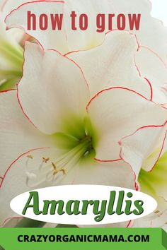 Care tips and ideas for growing healthy amaryllis all year long. Although they look exotic, all varieties of amaryllis are easy to grow, and will rebloom readily. Easy To Grow Flowers, Growing Flowers, Colorful Flowers, Planting Flowers, Easy Care Houseplants, Growing Plants Indoors, House Plant Care, Unusual Plants, Hanging Planters