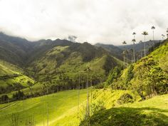 Palm Trees in Cocora Valley, Salento - Colombia
