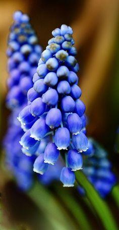 Muscari grape hyacinth.