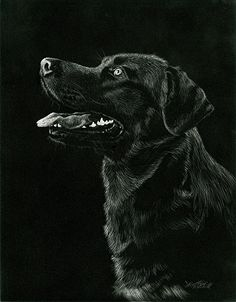 Delighted - Black Lab by Heather A. Mitchell Scratchboard ~ x Cat Drawing, Life Drawing, Painting & Drawing, Drawing Ideas, Animal Paintings, Animal Drawings, Prismacolor, Scratchboard Art, Ap Studio Art