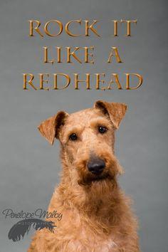 Hattie, Irish Terrier. Shot in my studio earlier this year. She was an absolute star.