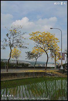 黄金風玲木