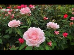 Easy Tips For Growing Roses