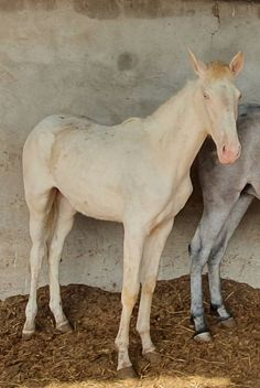 POTRA PSL PERLINA Horses, Animals, Horses For Sale, Equestrian, Animales, Animaux, Horse, Words, Animal