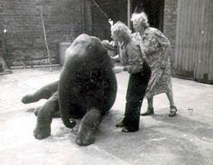 Story of how Belfast Zoo's baby elephant was kept in backyard of home during Second World War Blitz to be made into film Baby Elephant Name, Picture Source, Belfast, Northern Ireland, World War Two, Pet Birds, Lion Sculpture, Backyard, History