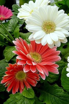The Gerbera flower comes in at number Sunflowers And Daisies, All Flowers, Flowers Nature, Exotic Flowers, Amazing Flowers, Colorful Flowers, Paper Flowers, Beautiful Flowers, Gerbera Flower